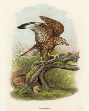 Buzzard, African by O V Riesenthal